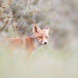 崽狐狸红色 库存图片