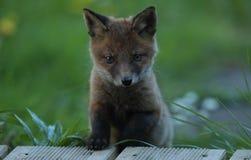 崽狐狸纵向红色 库存图片