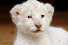 崽狮子白色 库存图片