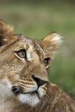崽狮子纵向 库存图片