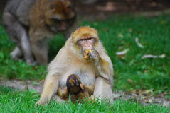 崽猴子 免版税库存图片