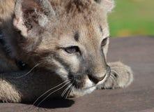 崽美洲狮 免版税库存照片