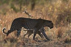 崽豹子母亲 库存照片