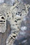 崽豹子雪 库存图片