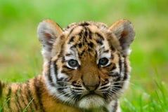 崽逗人喜爱的西伯利亚老虎 免版税库存图片