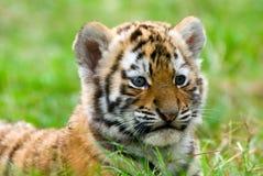 崽逗人喜爱的西伯利亚老虎 免版税图库摄影