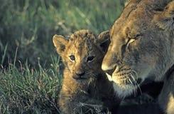 崽重点狮子 库存图片