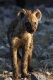 崽hyaena被察觉的纳米比亚 免版税库存照片