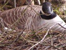 嵌套加拿大鹅 免版税库存图片