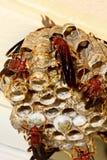嵌套垂直黄蜂 免版税库存图片