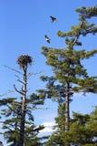 嵌套白鹭的羽毛 免版税库存照片
