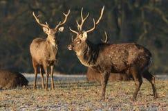 满州人Sika鹿鹿在黎明的日本mantchuricus在一个冷淡的冷的早晨 库存图片