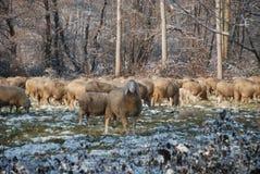 巡回绵羊 库存照片