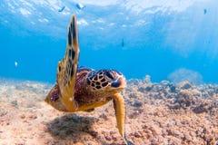 巡航在太平洋的温暖的水域的中夏威夷绿浪乌龟 免版税库存照片