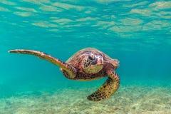 巡航在太平洋的温暖的水域的中夏威夷绿浪乌龟 免版税图库摄影