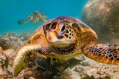 巡航在太平洋的温暖的水域的中夏威夷绿浪乌龟 图库摄影