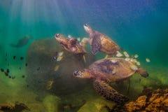 巡航在太平洋的温暖的水域的中夏威夷绿浪乌龟 库存照片