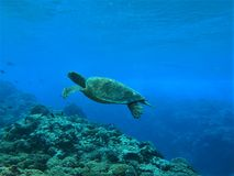 巡航在珊瑚礁的乌龟 免版税图库摄影