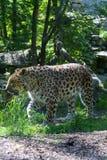 巡逻和守卫他的疆土的成人豹子 免版税库存照片