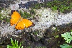巡洋舰蝴蝶在庭院里 免版税库存照片