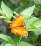 巡洋舰蝴蝶在庭院里 库存图片