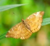 巡洋舰蝴蝶在庭院里 库存照片