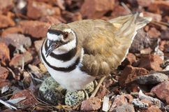 巢和恼怒的鸟 库存图片