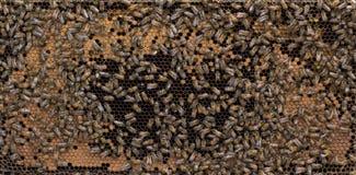巢和蜂蜜蜂成熟框架  库存照片