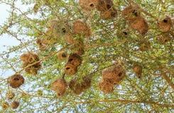 巢在马赛马拉,肯尼亚 库存图片
