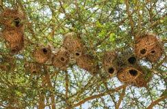 巢在马赛马拉,肯尼亚 免版税库存照片