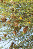 巢在马赛马拉,肯尼亚 库存照片
