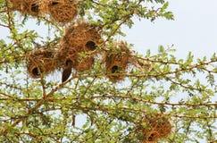 巢在马赛马拉,肯尼亚 免版税库存图片