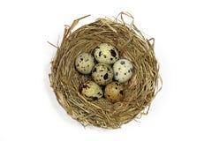 巢用在白色的鹌鹑蛋 免版税库存照片