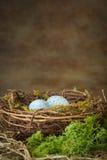 巢用蓝色鸡蛋 图库摄影