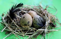 巢用鹌鹑蛋和羽毛在浅绿色的背景 免版税库存图片