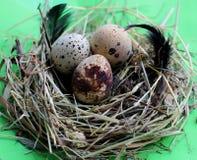 巢用鹌鹑蛋和羽毛在浅绿色的背景 免版税图库摄影