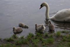 从巢的天鹅家庭到细想对小鸡 图库摄影