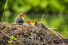 巢的特写镜头与欧亚老傻瓜,骨顶属atra,小鸡的 库存图片