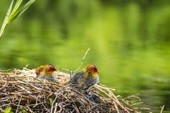 巢的特写镜头与欧亚老傻瓜,骨顶属atra,小鸡的 库存照片