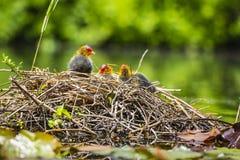 巢的特写镜头与欧亚老傻瓜,骨顶属atra,小鸡的 免版税图库摄影