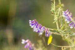 巢菜属植物花在领域关闭  巢菜开花开花 免版税库存照片