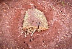 巢蚂蚁 库存图片