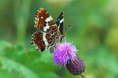 巢蝴蝶映射夏天 库存图片