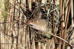 巢鼠, Micromys minutus 免版税库存照片