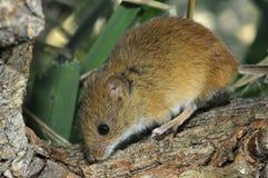 巢鼠 免版税库存图片