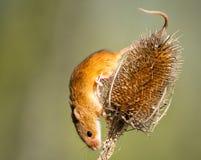 巢鼠 图库摄影
