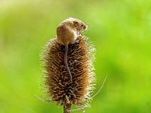 巢鼠 库存图片