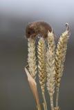 巢鼠 免版税图库摄影