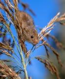 巢鼠(Micromys minutus)在反对蓝色S的里德羽毛 免版税库存图片