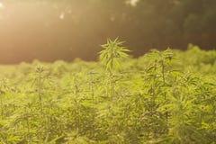 工业用大麻种植园 免版税图库摄影